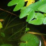 メダカに水草が必要な理由!酸素作り、水質浄化の役割がある!