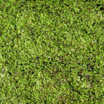 メダカも喜ぶ水草と浮き草!食べる浮き草もある!