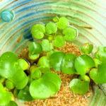 メダカを室内で飼う!おすすめの浮き草の種類を教えます!